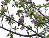 Purple Finch, female perched in apple tree with pink flowers, song bird, Phippsburg, Maine, spring