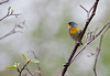 Northern Parula, male, Phippsburg Maine, May