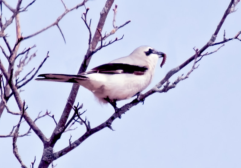 Northern shrike with caterpillar, Maine, March