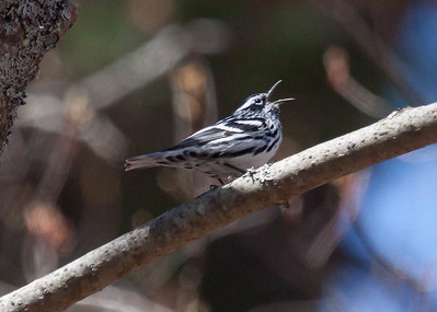 Black And White warblers are migratory in Maine. Black and White Warbler singing in the tree tops, Phippsburg, Maine. Mniotilta varia, Black And White warbler, is a migratory song bird in Maine, Phippsburg