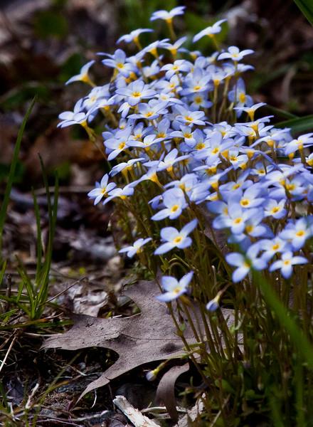 Bluets or Quaker Ladies, wildflower, Phippsburg Maine