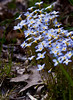 Bluets or Quaker Ladies, wildflower, Phippsburg Maine