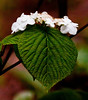 Witch's Hobblebush, native viburnum, Spring, Phippsburg Maine