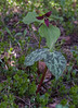 "Trillium erectum, also known as Wake-robin, Red trillium, Purple trillium, Beth root, or Stinking Benjamin is a spring ephemeral wildflower in Phippsburg, Maine For a list of protected and endangered wildflowers in Maine see <a href=""http://plants.usda.gov/java/threat"">http://plants.usda.gov/java/threat</a> Wildflowers should be left undisturbed where they are found. To uproot and attempt to transplant them puts the species at risk. Wildflowers are dependent on very specific soil, water and light requirements which a home gardener can rarely reproduce."