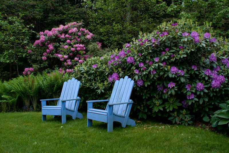 periwinkle blue Adirondack chairs in a garden with purple rhododendrons, coastal Phippsburg Maine garden in early summer