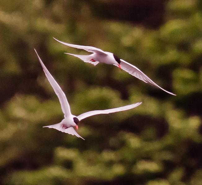 Common tern pair flight, Phippsburg, Maine