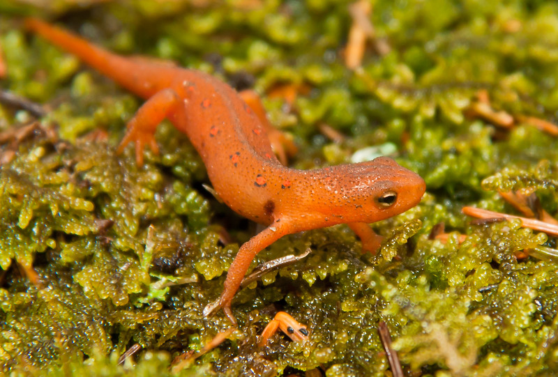 Red-spotted newt, Phippsburg, Maine