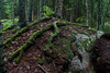 moss covered tree roots sprawling over granite boulder in the woods, Phippsburg Maine