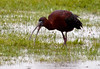 Glossy ibis swallowing a worm in the rain, Phippsburg Maine June
