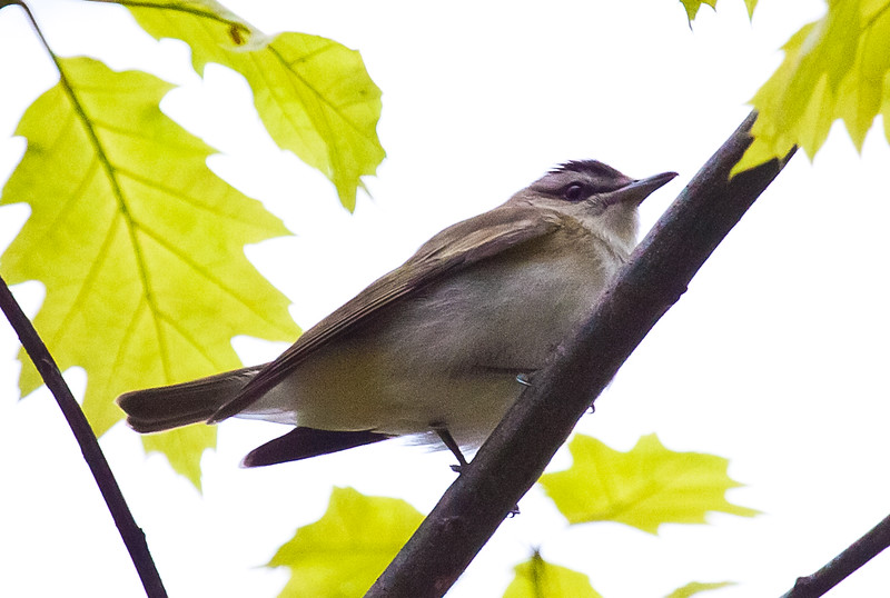 Red-eyed vireo, spring, Maine