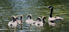 Canada geese with goslings, spring, May, Phippsburg Maine