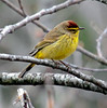 Palm warbler, breeding plumage, Phippsburg, Maine spring bird
