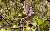 White-throated sparrow, spring breeding plumage, Phippsburg Maine