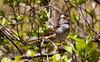 White-throated sparrow, spring breeding plumage, Phippsburg Maine