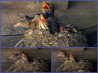 baby North American robins in nest waiting for parent to feed them, photograph collage, Phippsburg, Maine in spring