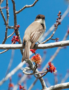 Eastern Phoebes are some of the first migratory songbirds to arrive in Maine. This one was photographed in April in Phippsburg, Maine. They arrive at about the same time that the maple trees flower, as seen here.
