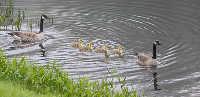 Canada geese, goslings, May, Phippsburg Maine