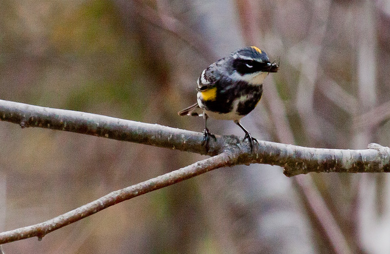 Yellow-rumpled warbler, male in breeding plumage, Phippsburg Maine, spring