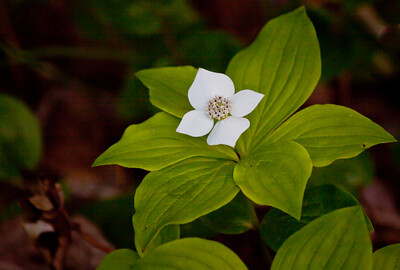 Cornus canadensis, Bunchberry or Ground Dogwood flowers are white, low growing flowers found on the margins of dry woodlands. They are wild, native flowers in Maine. Later, there will be brilliant red berries. The blossom is not really a flower at all, but rather, a bract, part of the leaves.