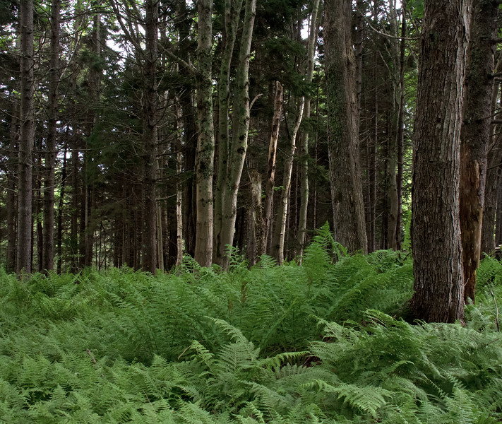 Lady and Cinnamon Ferns in woods, Phippsburg, Maine