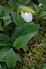 White Ladyslipper