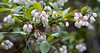 Blueberry flowers, low bush Maine natives