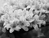 spring azalea details in black and white, Phippsburg, Maine, spring