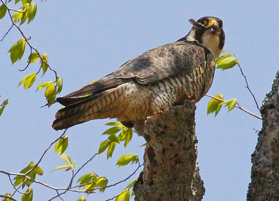 Peregrine falcon with feather in its beak, Maine, spring, raptor had just caught a bird to eat which it has on the snag in its talons
