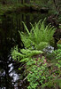 Royal ferns, Osmunda regales along stream side, Phippsburg, Maine woodland in spring