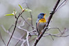 Northern parula, male singing