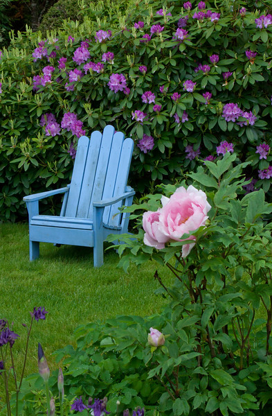 periwinkle blue Adirondack chairs in a garden with purple rhododendrons, pink and purple columbines and a pink tree peony, coastal Phippsburg Maine garden in early summer