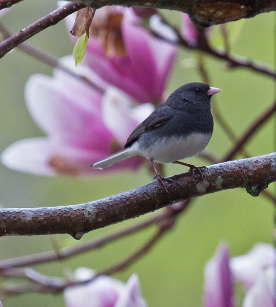 Dark Eyed Junco In Magnolia