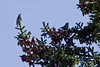 Yellow-rumped warbler, male, on left and Red Crossbill female, right both atop Black spruce, May, Phippsburg Maine