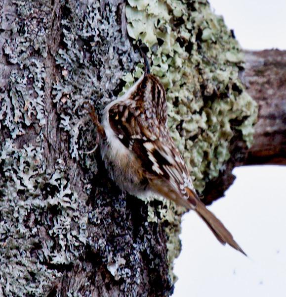 Brown creeper, Phippsburg Maine