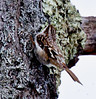 Brown creeper, Phippsburg Maine