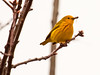 Common Yellow warbler with spiders, Spring, Phippsburg Maine