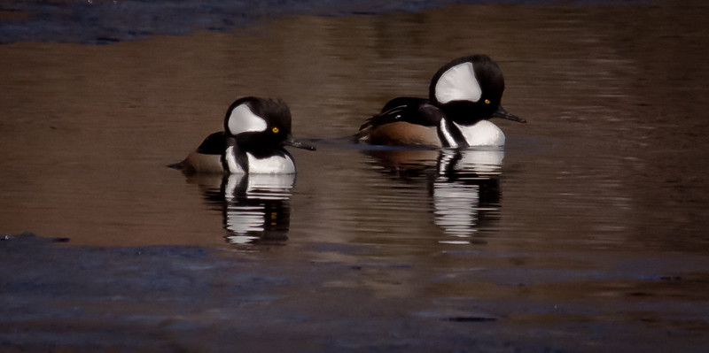 Hooded merganser drakes, Phippsburg Maine