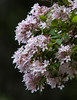 Kolkwitzia, also known as Beauty Bush is an old fashioned favorite, tall shrub in Maine. Beauty Bush is an old fashioned favorite. It grows quite tall for a shrub, as much as 15 feet. I used to steal them from a neighbor for my mother when I was young.