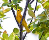 Common Yellow warbler, male in breeding plumage, spring, Phippsburg Maine