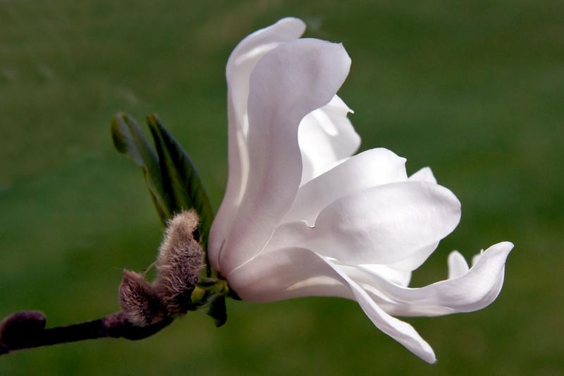 Star magnolia blossom, Magnolia stellata, coastal Maine, Phippsburg spring garden