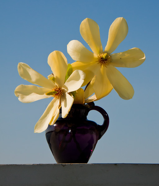 yellow magnolia blossoms in purple, Fenton pitcher, Phippsburg, Maine