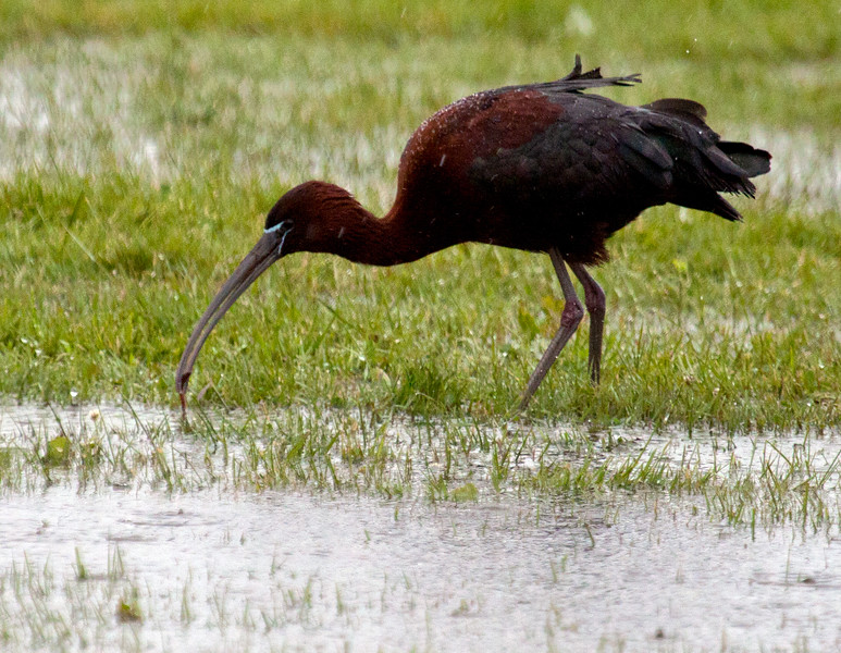 Glossy ibis pulling a worm out of the ground in flood water, Phippsburg Maine