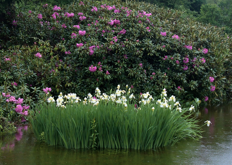 White Siberian irises in flood water in the rain with pink rhododendrons in the background, Phippsburg Maine coastal garden June