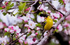 American goldfinch, male, in apple tree, May Phippsburg Maine