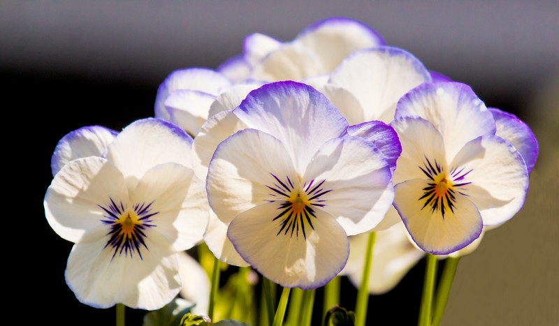 White and purple violas, cluster, spring, Phippsburg Maine