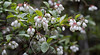 Wild native Maine low bush blueberry flowers, spring, Phippsburg