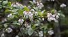 Wild native Maine low bush blueberry flowers, spring, Phippsburg