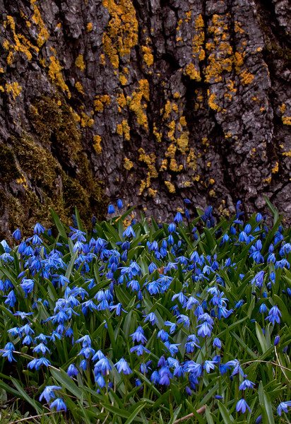 Siberian squill at base of ancient maple tree, Phippsburg, Maine