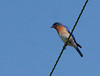 Eastern Bluebird, small, brilliant blue songbird, Maine