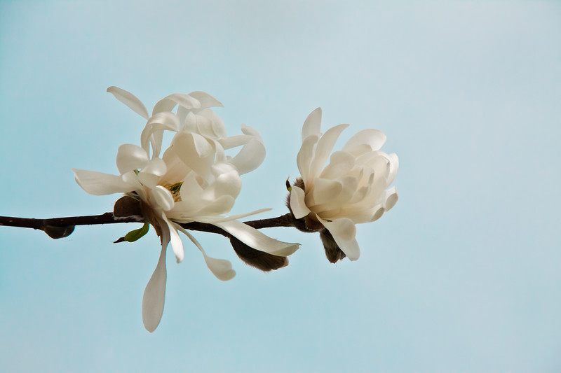 Star magnolia blossoms, Phippsburg Maine spring garden
